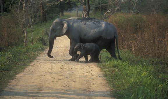 Elephant in Chandaka Elephant Sanctuary