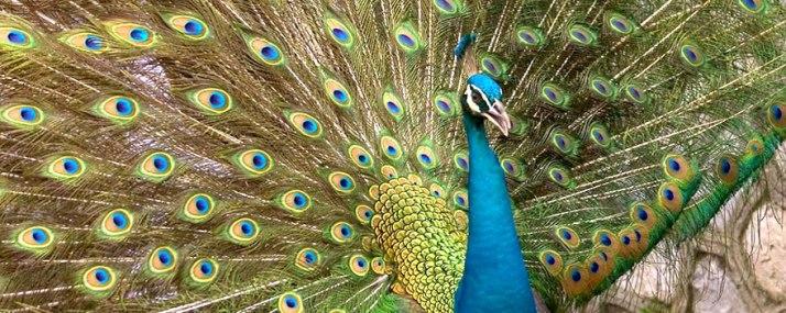 Peacock in Chandaka Elephant Sanctuary