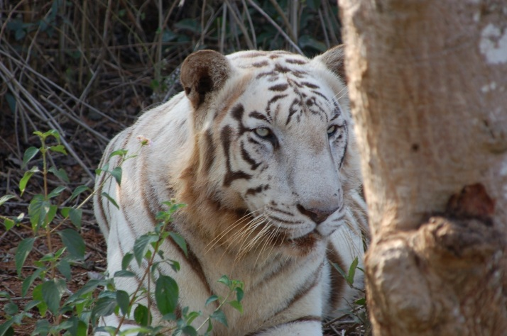 White Tiger at Nandakanan Zoological park