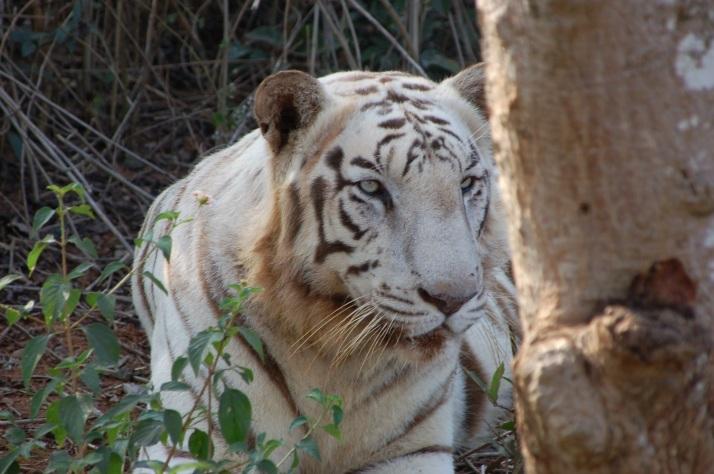 White Tiger at Nandakanan Zoological park
