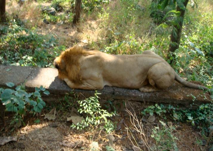 Lion at Sanjay Gandhi National Park