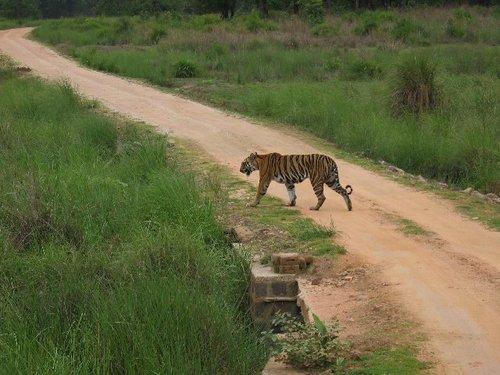 bengal tigers at achanakmar wildlife sanctuary chhattisgarh
