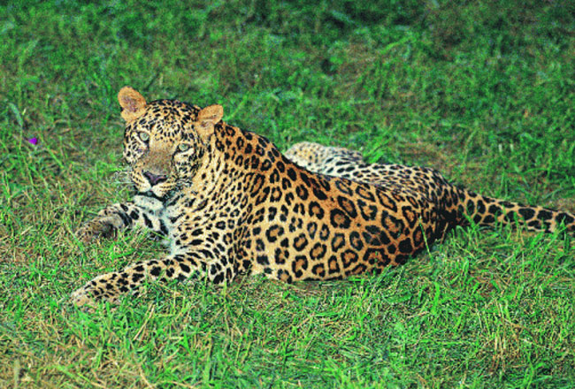 leopards at achanakmar wildlife sanctuary chhattisgarh