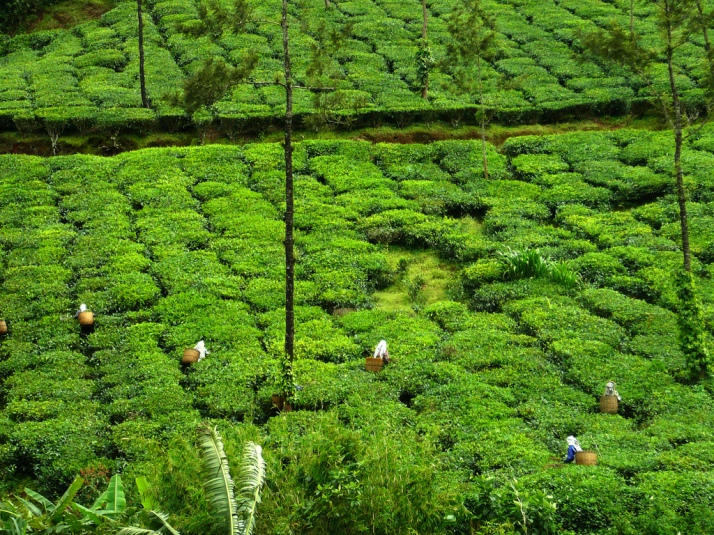 Tea plantations in Coorg